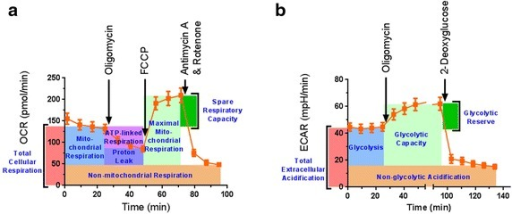 The bioenergetic profile of mouse sciatic nerves can be assessed by Seahorse metabolic assay. Sciatic nerves from mice were isolated and cut into small 1 mm hemi-segments. Tissue from a 3 mm long segment of nerve was placed into a single well. a Oxygen consumption rate was measured, and the oxygen consumption rate in response to oligomycin, FCCP, and antimycin A with rotenone was determined. This allowed ex vivo measurement of oxygen consumption specific to total cellular respiration, mitochondrial respiration, mitochondrial ATP production, mitochondrial proton leak, mitochondrial maximal respiration, mitochondrial spare respiratory capacity, and non-mitochondrial respiration. b Extracellular acidification rate can also be measured by this method. Ex vivo measurement of the extracellular acidification rate corresponding to total extracellular acidification, glycolysis, glycolytic capacity, glycolytic reserve, and non-glycolytic acidification can be measured following administration of oligomycin and 2-deoxyglucose to the tissue culture medium
