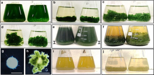 Flocculation of Synechocystis PCC 6803 cells by A. fumigatus.a SD100 culture mixed with A. fumigatus/TWS and A. fumigatus/GLU pellets, time = 0; Flocculation of SD100 (b), SD216 (c) and SD232 (d) cells with A. fumigatus/TWS and A. fumigatus/GLU pellets (t = 24 h); e Flocculation of SD277 with A. fumigatus/TWS and A. fumigatus/GLU pellets, t = 0; vertical bars show the levels of A. fumigatus pellets in SD277 culture; f same after 24 h; g, hA. fumigatus pellets before and after mixing with SD100 cells, respectively; i SD256 grown for 5 days under reduced CO2 conditions and mixed with A. fumigatus/TWS and A. fumigatus/GLU pellets, t = 0; j same after 24 h. In a–f, i–jA. fumigatus/TWS pellets were shown on left and A. fumigatus/GLU on right. Scale 5 mm