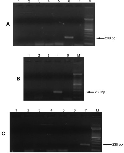 - Gel showing specificity of the 230 bp fragment of the kDNA of Leishmania infantum. The PCR with FLC2/RLC2 primers was carried out using as template the DNA extracted from promastigotes of Leishmania species (100 pg), epimastigotes of T. cruzi (100 pg) and L. braziliensis isolates from humans and dogs (100 pg). kDNA, kinetoplast DNA; M, 100 bp molecular marker. Panel A. Lane 1: L. amazonensis; Lane 2: L. lainsoni;Lane 3: L. panamensis; Lane 4: L. guyanensis; Lane 5: L. braziliensis(MHOM/BR/1987/M11272); Lane 6: L. infantum(MHOM/BR/1974/PP75); Lane 7: negative control (water).Panel B. Lane 1: L. naiffi; Lane 2: L. major; Lane 3: T. cruzi; Lane 4: L. infantum (MHOM/BR/1974/PP75); Lane 5: negative control (water). Panel C. Lane 1: L. braziliensis (CAN/BR/2001/M20171) isolated from dog (serodeme I); Lane 2: L. braziliensis(MHOM/BR/1993/M14405) isolated from human (serodeme I); Lane 3:L. braziliensis isolated from human (serodeme II); Lane 4: L. braziliensis isolated from human (serodeme III); Lane 5: L. braziliensis isolated from human (serodeme VII); Lane 6: L. braziliensis(MHOM/BR/1987/M11272) isolated from human (serodeme I); Lane 7: L. infantum(MHOM/BR/1974/PP75).
