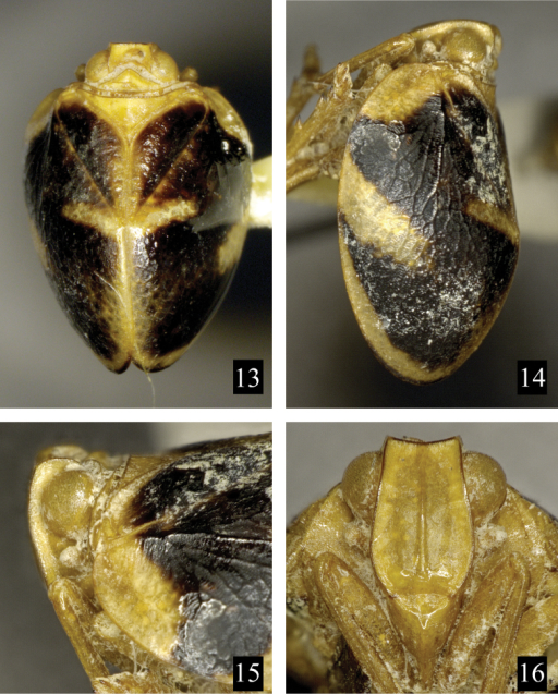 Neohemisphaeriuswugangensis Chen, Zhang & Chang, 2014. 13 Adult (male), in dorsal view 14 Adult (male), in lateral view 15 Head (male), in lateral view 16 Frons and clypeus (male), in front view.