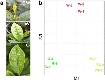 "'Anji Baicha' tea leaves and transcriptome profiles in different stages. a YG, yellow-green leaf; W, white leaf; G, re-greening leaf. Details for each tissue are described in the Methods section under ""Plant materials"". b CummeRbund was used to analyze the leaf transcript level data from the three analyzed stages (three biological replicates). The RNA-sequencing samples clustered into three groups of three replicate samples according to these stages. These results indicated that the three biological replicates produced consistent gene expression data at each stage, and that the expression levels of unigenes in leaves differed among stages"