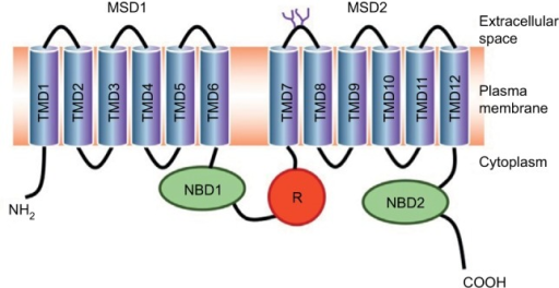 Predicted topology of CFTR protein.Notes: It is composed of two repeated units made of a MSD followed by a NBD. The two repeated units are linked by a R domain. The MSDs consist of six hydrophobic transmembrane helices (or TMD). Several transmembrane helices contain one or more charged amino acids that control anion permeability. Extracellular loop 4 (between TMD7 and TMD8) contains two N-glycosylation sites.Abbreviations: CFTR, cystic fibrosis transmembrane conductance regulator; MSD, membrane-spanning domain; NBD, nucleotide-binding domain; TMD: transmembrane domain; R, regulatory domain.