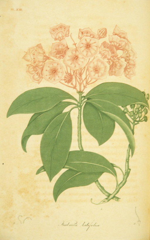 <p>Colored engraving of a flowering mountain laurel.</p>