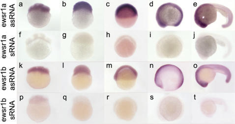 Initial Maternal and Subsequent Ubiquitious Expression of ewsr1a and ewsr1b mRNAs in Zebrafish Embryonic Development.The images are lateral views of embryos stained by in situ hybridization using anti-sense RNA (a–e, k-o) or sense RNA (f–j, p–t) for ewsr1a and ewsr1b. The ewsr1a and ewsr1b were expressed ubiquitously at 4 cell (a and k), 256 cell (b and l), shield (c and m), 5 somite stage (d and s) and 24hpf (e and t). asRNA: anti-sense RNA, sRNA: sense RNA