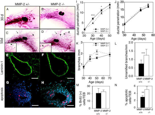 MMP-2 −/− mice have reduced ductal invasion and increased lateral branching. (A–D) Whole mounts of mammary glands of an (A and C) MMP-2 +/− and (B and D) MMP-2 −/− mice (A and B) 30 d old and (C and D) 50 d in estrus. Note supernumerary branching in D (inset). Example of ramified branch (arrows) and unramified branch or bud (arrowheads). Bars, 1 mm. (E–H) Sections through TEBs in mammary glands from 30-d-old (E and G) MMP-2 +/− and (F and H) MMP-2 −/− mice. (E and F) Immunohistochemistry for Ln-1. (G and H) TUNEL assay. Apoptotic cells are red. Bars, 25 μm. (I–L) Penetration of mammary ducts of (I) MMP-2 +/− and MMP-2 −/− and (J) MMP-9 +/− and MMP-9 −/− mice, (K) number of branches per millimeter, and (L) number of unramified branches per millimeter at 50 d from primary mammary ducts of MMP-2 +/− and −/− mice. Data are mean ± SEM (I, K, and L) using 8–16 or (H) 4–8 mammary glands per data point. (M and N) Percentage of BrdU (M) or TUNEL (N) positive cells within TEBs of MMP-2 −/− and MMP-2 +/− 30-d-old mice. Data are mean percent per TEB ± SD. ***, P < 0.0005; **, P < 0.005; *, P < 0.05, unpaired, two-tailed t test.