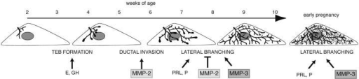 Model for different phases of mammary gland branching morphogenesis. Before puberty, the mammary epithelial is small and simply branched. In response to the release of estrogen (E) and growth hormone (GH), at ∼3 wk old TEBs form. MMP-2 is then involved in inducing TEBs to invade and the ducts begin to fill the fat pad by branching dichotomously through bifurcation. At ∼6–8 wk old, the mammary ducts branch laterally. This process is suppressed by MMP-2 and induced by MMP-3 and may be related to changes in the response of the gland to progesterone (P) and prolactin (PRL). The fat pad is filled with ducts at ∼10 wk old and is relatively quiescent until pregnancy, when there is another wave of lateral branching that is regulated by MMP-3, P, and PRL before the formation of lobular alveoli.