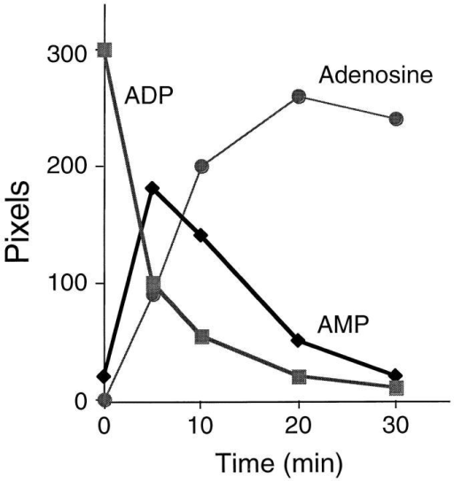 Hydrolysis of [14C]ADP to AMP by EC-associated ATPDase. Radiolabeled ADP hydrolysis to AMP, and consequent catalysis to  adenosine by pEC, was measured by TLC of supernatants from EC cultures. ADP was rapidly degraded and the radio-label appeared as AMP  initially, and then adenosine over a time period of 30 min.