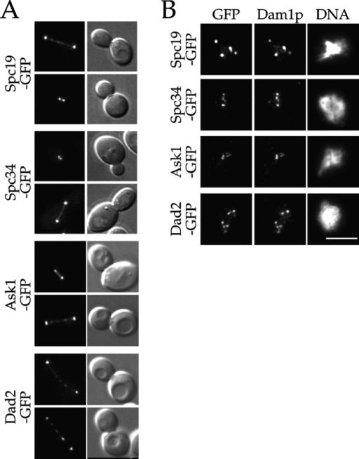 Spc19p, Spc34p, Dad2p, and Ask1p localize to spindles and kinetochores. (A) GFP fluorescence and corresponding DIC images showing the localization of the indicated fusion protein to the mitotic spindle. (B) Cells expressing the indicated GFP fusion proteins were prepared for chromosome spreads as described (Loidl et al., 1998). They were then processed for immunofluorescence and stained with anti-GFP and anti-Dam1p antibodies. Bar, 5 μm.