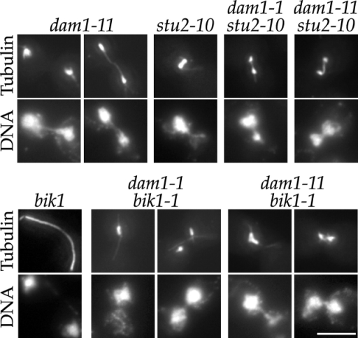 Analysis of stu2 dam1 and dam1 bik1 double mutants reveals shared roles in spindle structure. dam1-11, stu2-10, and bik1-1 single mutants and dam1-11 stu2-10, dam1-1 stu2-10, dam1-11 bik1-1, and dam1-1 bik1-1 double mutants were grown at 25°C and shifted to 37°C for 3 h. They were then processed for tubulin immunofluorescence and DNA staining (DAPI). Bar, 5 μm.
