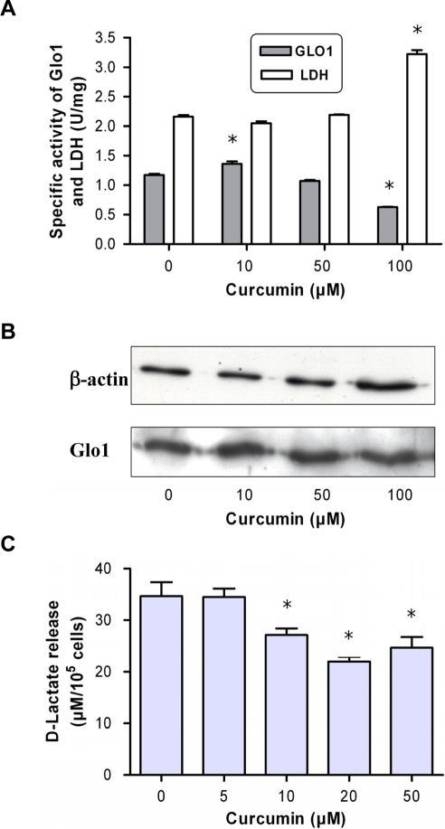 Cytosolic activity and protein content of glyoxalase 1 upon treatment of JIMT-1 cells with curcumin.(A) JIMT-1 cells were treated with curcumin at 37°C and 5% CO2 for 24 h. Cells were harvested and the specific activity of Glo1 and LDH was determined in the cytosolic extract. (B) Semi-quantitative analysis of protein content as performed by Western blot using specific antibodies against β-actin and Glo1. The blot was developed by chemoluminescense detection. (C) D-lactate release as determined in supernatants of astrocytoma 1321N1 cells following 24-h incubation with curcumin. Data represent the mean±S.D. of independent experiments (n = 6).