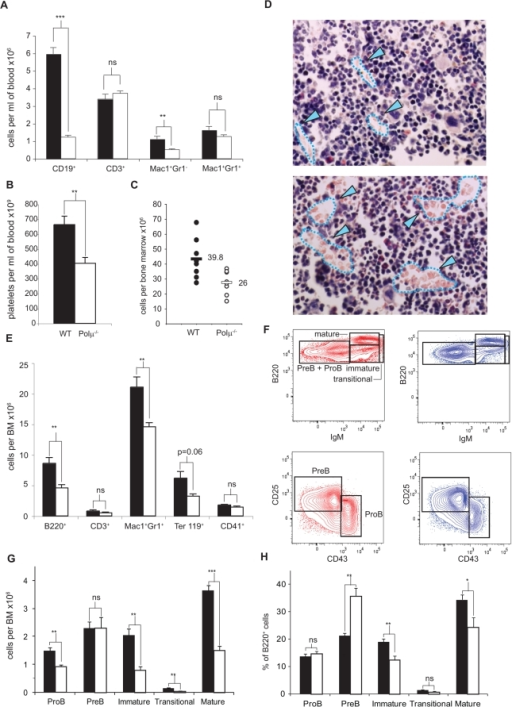 Blood and bone marrow cell profiles are altered and bone marrow cell numbers reduced in Polμ−/− mice.A. Blood cell populations in wildtype (WT: n = 6–12; solid bars) and Polμ−/− mice (n = 7–13; open bars). CD19, B lymphocytes; CD3, T lymphocytes; Mac1+Gr1−, monocytes; and Mac1+Gr1+, neutrophils. B. Representative experiment showing platelet numbers in WT (solid bar; n = 6) and Polμ−/− mice (open bar; n = 16). C. Representative experiment showing distribution of bone marrow (BM) populations (two femurs per mouse) in WT (closed circles; n = 4–7) and Polμ−/− mice (open circles; n = 4–8). D. Histological sections of Polμ−/− and WT BM; endothelial sinusoids are delineated by a dashed line (blue) and marked by blue arrowheads. E. BM cell population analysis by flow cytometry (WT, solid bars; n = 7; Polμ−/−, open bars; n = 8), showing B220 (B cell) and CD3 (T cell), Mac1Gr1 (myelomonocytic), Ter119 (erythroid), and CD41 (megakaryocytic) lineages. F. Representative flow cytometry plots of B cell differentiation analysis in the bone marrow of WT (red plots) or Polμ−/− (blue plots) C57BL/6 mice. PreB+ProB cells were further analyzed according to CD25 and CD43 expression to distinguish between PreB and ProB cells. G. Cell number per bone marrow (2 tibias, 2 femur) of the B cell subsets analyzed in F; n = 8. H. Frequency (percentage of total B cell population) of the B cell subsets analyzed in F; n = 8. Results are pooled data from two independent experiments. Data are means+/−SEM. *: p<0.05; **: p<0.01; ***: p<0.001.