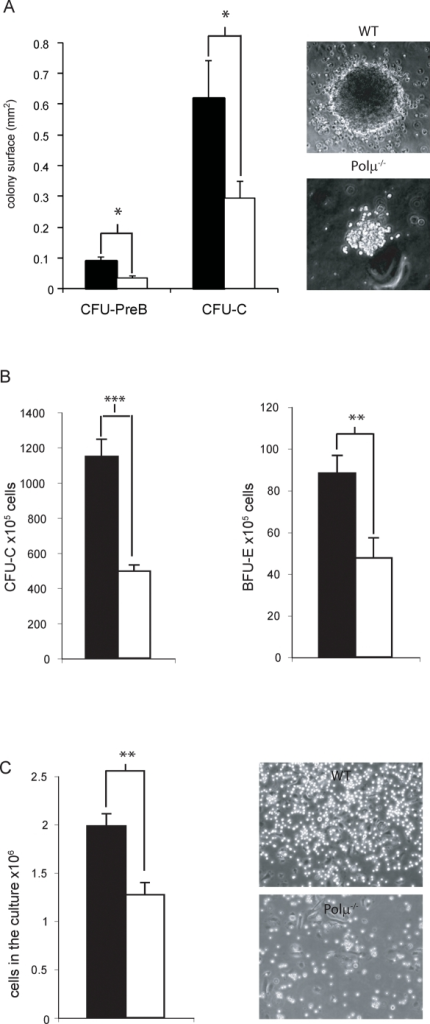 Polμ deficiency reduces the proliferation potential of hematopoietic progenitors.A. Left panel: estimated size (planar surface) of CFU-PreB and CFU-C colonies derived from WT BM (solid bar) and Polμ−/− BM (open bar). Right panel: Micrographs of representative CFU-PreB colonies derived from WT and Polμ−/− BM, showing the reduced colony size of Polμ−/− colonies. B. Numbers of myeloid (left) and erythroid (right) progenitors recovered after 4 days expansion of WT BM (solid bars, (n = 7) and Polμ−/− BM (open bars, (n = 7) in IL3 and SCF supplemented medium. C. Left: Absolute cell numbers, per culture, recovered after a 2 week expansion of WT (solid, (n = 5) and Polμ−/− (open, (n = 4) long-term bone marrow cell cultures (LTBMC). Right: representative micrographs of stroma generated in WT and Polμ−/− LTBMC (3 weeks). Data are means+/−SEM. *: p<0.05; **: p<0.01; ***: p<0.001.