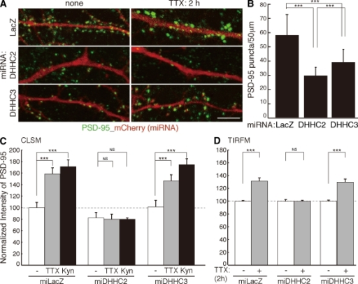 DHHC2 and -3 are differently involved in PSD-95 trafficking. (A and B) In the DHHC2 or -3 knocked down neurons (labeled with mCherry), the number of native PSD-95 puncta (green) was significantly decreased. n = 5 neurons; ***, P < 0.001. (C and D) Knockdown of DHHC2 but not DHHC3 prevented TTX- or Kyn-induced augmentation of endogenous PSD-95 accumulation. Dashed lines (100%) indicate the normalized control level. ***, P < 0.001. (C) Analyzed by confocal laser-scanning microscopy (CLSM). n = 10–15 neurons. (D) Analyzed by TIRFM. n = 5 neurons. miLacZ is a control miRNA targeting LacZ (β-galactosidase). (B–D) Error bars indicate SD. Bar, 5 µm.