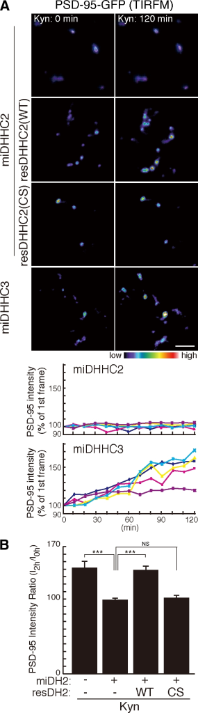 DHHC2 is essential for activity-sensitive PSD-95 palmitoylation. (A and B) DHHC2 but not DHHC3 mediates palmitoylation of PSD-95 upon activity blockade. Knockdown of DHHC2 but not DHHC3 inhibited Kyn-induced PSD-95–GFP recruitment at the synaptic membrane. miDHHC2-resistant DHHC2 (WT) but not PAT-inactive DHHC2 (CS) rescued Kyn-induced PSD-95 accumulation. (A) TIRFM intensity of representative five punctae from a neuron was plotted with time. (B) n = 3 each; ***, P < 0.001. Error bars indicate SD. Bar, 5 µm.