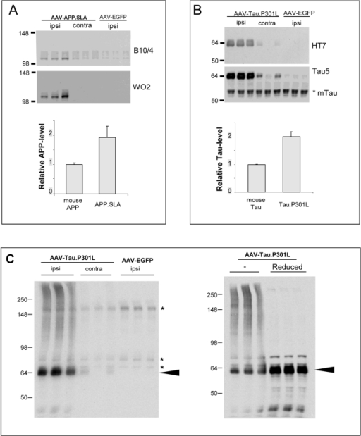 Protein levels of APP.SLA and Tau.P301L in hippocampal extracts.Biochemical analysis by western blotting of hippocampal extracts from AAV injected mice, as indicated. A: western blotting for total human and mouse APP with antibody B10/4 and for human APP with Mab WO2 on hippocampal extracts from AAV-APP.SLA injected mice at 1.5 weeks p.i. Quantitative data are from measurements with B10/4 following densitometric scanning (mean+/−SD; n = 3). B: western blotting for total human and mouse Tau with Mab Tau5 and for human Tau with Mab HT7 on hippocampal extracts from AAV-Tau.P301L injected mice at 1.5 weeks p.i. Quantitative data are from measurements with Tau5 following densitometric scanning (mean+/−SD; n = 3). C: western blotting reveals aggregated Tau oligomers in AAV-TauP301L mice. Protein extracts from AAV-Tau.P301L and AAV-EGFP injected mice (1.5 week p.i.) were separated on 8% Tris-Glycine gel under non-reducing and under reducing conditions. When blots were probed first with the secondary antibody only, non-specific bands denoted by asterisks were also revealed. Note the smears in the non-reduced samples (see text for details).