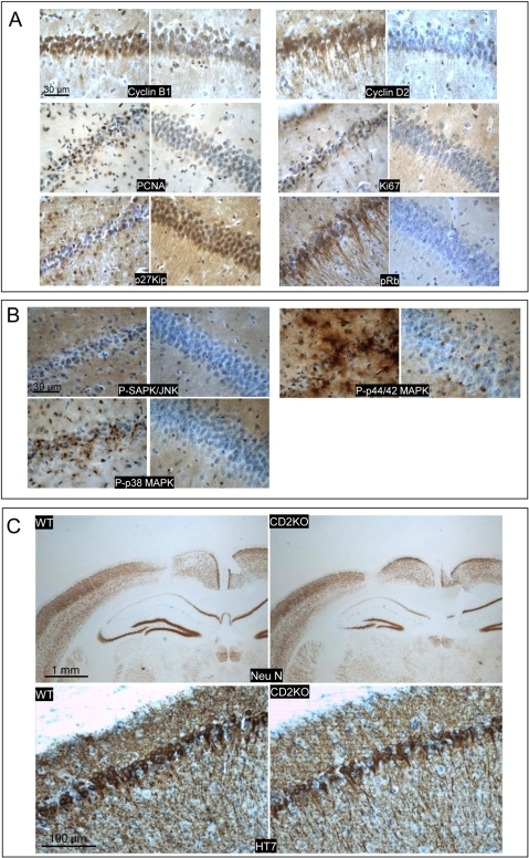 Tau-mediated neurodegeneration relates to cell cycle.A: IHC for indicated markers in brain of wild-type mice injected with 10E8 t.u. AAV-Tau.P301L analyzed 3 weeks p.i. comparing injected (left panels) to non-injected (right panels) hemispheres. Note the predominant nuclear localization of cyclinB1 and cytoplasmic expression of cyclinD2 as well as the strong phosphorylation of Retinoblastoma protein. Marker PCNA was typical for a subset of neurons in a different stage of degeneration. Scale bars 30 µm. B: IHC for active members of MAPK family: phospho-SAPK/JNK, phospho-p44/42 MAPK, phospho-p38 MAPK. Compared injected (left) to non-injected (right) hemispheres. Scale bars 30 µm. C: CyclinD2 deficient mice were injected with 10E8 t.u. AAV-Tau.P301L and analyzed 3 weeks p.i. compared to wild-type littermates (n = 4 each) by IHC for total human tau with HT7 (lower panel; scale bar 100 µm) and for NeuN as marker for neuronal nuclei (upper panel; scale bars 1 mm). Note the similar level of neurodegeneration in wild-type and CyclinD2 deficient mice injected with AAV-Tau.P301L.