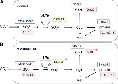 Sulphur metabolite contents and 35S flux into different metabolite pools of fine roots excised from poplar plants pre-treated with Acetochlor. Fine roots were excised from poplar trees watered without (A, n=9) or with 66 μg ml−1 Acetochlor (B, n=9) in the nutrient solution for 2 days. The excised fine roots were pre-incubated for 2 h and subsequently exposed to [35S]sulphate for 4 h to measure sulphate uptake and 35S flux into different metabolite pools. Sulphate (μmol g−1 FW), GSH (nmol g−1 FW), and protein (mg g−1 FW) contents were determined (pink squares). 35S flux into internal sulphate, GSH, and protein is given as pmol 35S g−1 FW h−1 (light blue squares). APR activity is indicated in a green square as nmol mg−1 protein min−1. Significant differences at P <0.05 from control roots without Acetochlor pre-treatment are indicated by asterisks.
