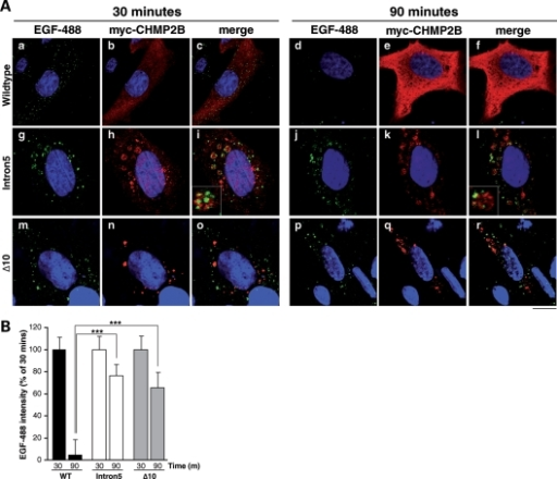 Delayed degradation of EGF in CHMP2B mutant cells. (A) SK-N-SH cells were transiently transfected with CHMP2BWildtype (a–f), CHMP2BIntron5 (g–l) or CHMP2BΔ10 (m–r), and used 24 h later for an EGF-488 trafficking assay. Cells were fed 100 ng/ml EGF-488 (green) and fixed at either 30 (left panel) or 90 min (right panel). Fixed cells were immunostained with an anti-myc antibody to visualize myc-CHMP2B transfected cells (red) and the nuclei counterstained with Hoecsht (blue). At 30 min, all cells show punctate localization of EGF-488. In CHMP2BWildtype-expressing cells at 90 mins (d–f), the EGF-488 signal is degraded. However, in cells overexpressing CHMP2BIntron5 (j–l) or CHMP2BΔ10 (p–r), the majority of EGF-488 remains undegraded. Insets show magnification of EGF-488 colocalizing with CHMP2BIntron5-positive compartments. Scale bar = 20 µm. (B) LSM 510 Meta software was used to quantify this effect. ∼95% EGF-488 is degraded in CHMP2BWildtype expressing cells, compared with only 25–35% in cells expressing CHMP2BIntron5 or CHMP2BΔ10 (t-tests, both P < 0.0001).