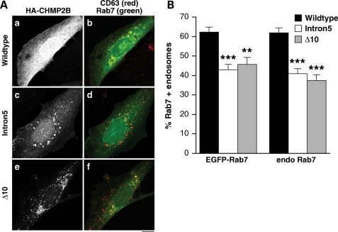 Impaired recruitment of Rab7 onto endosomes in mutant CHMP2B expressing cells. (A) SK-N-SH cells were co-transfected with EGFP-Rab7 (green), HA-CHMP2BWildtype (a, b), HA-CHMP2BIntron5 (c, d) or CHMP2BΔ10 (e, f) and then immunostained for CD63 to visualise endosomes (red) and HA. All CD63-positive endosomes within each of 40–50 cells per condition were scored for colocalization of EGFP-Rab7 by an experimenter blind to conditions. (B) There was a significant reduction in the percentage of endosomes that recruited EGFP-Rab7 in cells expressing CHMP2BIntron5 (P < 0.0001) or CHMP2BΔ10 (P < 0.001). Recruitment of endogenous Rab7 was similarly impaired (P < 0.0001 for both CHMP2BIntron5 and CHMP2BΔ10). Scale bar = 10 µm.