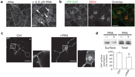PKC triggers endocytosis of heterologously and endogenously expressed DATa,b. EM4-YFP-DAT internalizes (white arrows) into EEA1-positive vesicles after exposure to 0.1 µM PMA for 30 min. Cells exposed to PMA were fixed and immunostained for EEA1 as described. Alexa-Fluor 633 labeled secondary antibodies were used to prevent overlap with YFP. Scale bar = 10 µm. c. Endogenous DAT internalizes in response to PMA in primary dopaminergic neurons. Midbrain cultures were treated with vehicle (Ctrl, n = 32) or 1 µM PMA (+PMA, n = 35) for 30 min, fixed and immunostained for DAT (intracellular epitope, Chemicon), and Alexa-Fluor 568 secondary. PMA led to significant internalization of DAT ('Internalization Index,' as described in Methods, Ctrl: 0.076±0.013; vs. PMA: 0.309±0.052). (One-way ANOVA; p < 0.001). Scale bar = 20 µm. d. Internalization of endogenous DAT in striatal slice preparations (n = 6). Slices were treated with 10 µM PMA or Ctrl for 1 hr, then cell surface biotinylated to determine DAT surface levels. 'DAT expression levels (% Surface)' indicates the relative amount of DAT at the cell surface, and was calculated as the ratio between the integrated densities of the surface levels of DAT after treatment (corrected for total levels of DAT) to the surface levels of DAT before treatment (corrected for total levels of DAT). Bars represent Mean + St. Dev. PMA treatment significantly decreased DAT surface levels (p = 0.0330). Complete blots can be found in Figure S9.