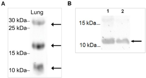Antibody test by Western blot.Analyzed was A) lung tissue which is used as positive control for surfactant proteins; B) recombinantly synthesized SP-G protein (not purified) at 28°C (1) and 37°C (2), arrows indicate positive evidence of the surfactant protein G. The proteins extracted from the lung tissue and separated by 15% SDS-PAGE under reducing conditions show distinct bands for SP-G at the theoretically expected molecular weights of 11, 20 and 30 kDA [A]. In case of recombinantly expressed SP-G protein, the antibody detects a distinct band at 11 kDa [B].