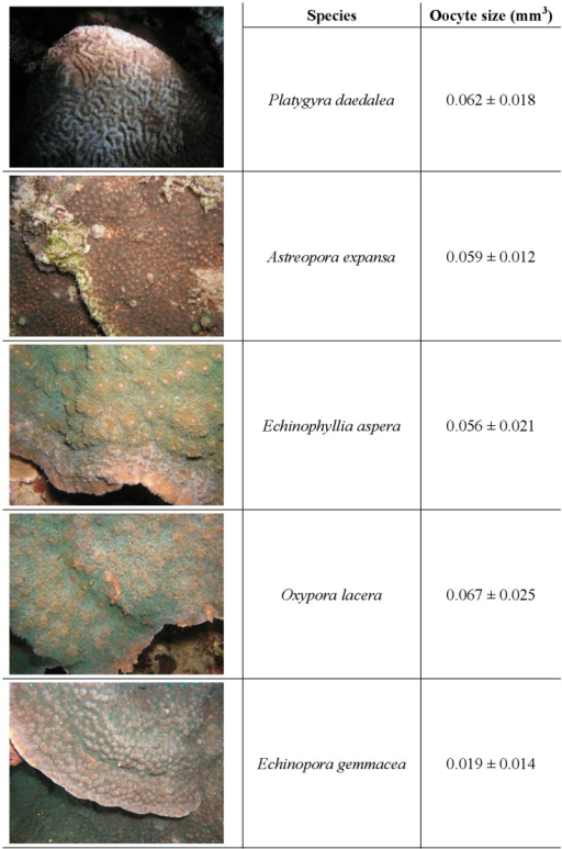 Representative images of the five target coral species used in the study.Their respective oocyte sizes (± standard error of the mean) are displayed in the adjacent column.