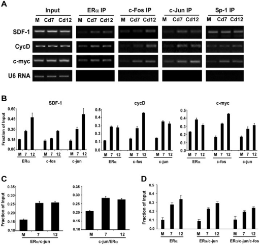 ERα, c-fos and c-jun are recruited to SDF-1 promoter.(A) MCF-7, Cd7 and Cd12 cells were harvested for chromatin immunoprecititation (ChIP) analysis. ChIP analysis was done with α-ERα, α-c-fos, α-c-jun, and α-Sp1, and recruitment of proteins to the SDF-1, cyclin D1 and c-myc promoters was determined using promoter specific primers and semi-quantitative PCR. (B) Band intensities of PCR products for SDF-1, cycD, and c-myc were quantified and normalized to input using Quantity One (Bio-Rad) (P<0.001). (C) In the ChIP re-ChIP assay, DNA/protein complexes from the first ChIP assay were extracted and re-ChIPed with a second antibody. The occupancy of ERα/c-jun or c-Jun/ERα complexes on the SDF-1 promoter was analyzed as in B (P<0.001). (D) To confirm the presence of c-fos in the ERα/c-jun complex, reChIPed DNA containing ERα/c-jun complexes were immunoprecipitated with a third antibody, α-c-fos, and the resulting DNA fragments were analyzed as in B (P<0.001).
