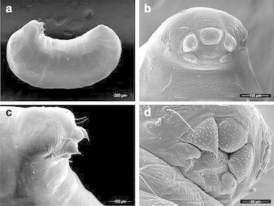Larvae and prepupae of Mycetagroicus inflatus: a lateral profile (prepupae), b head (prepupae), c head, lateral view (prepupae), d mouthparts (last-instar larvae)