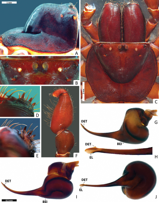 Missulena melissae sp. n., holotype male (WAM T97323): A carapace, lateral view B eye group, dorsal view C carapace, dorsal view D rastellum, dorsal view E same, ventral view F pedipalp, proventral view G bulb and embolus, retrolateral view H embolus, ventral view I bulb and embolus, prolateral view J same, ventral view. Arrows: (EL) embolar lamella, (DET) distal embolar tooth, and (BEI) basal embolar intumescence.