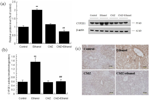 CMZ prevented ethanol-induced activation of CYP2E1 in mice liver.(a) Protein levels of CYP2E1 were detected by western blot; (b) CYP2E1 activity; (c) Immunohistochemical staining of CYP2E1. Data were presented as mean ± SD. **P<0.01, compared with control group; ##P<0.01, compared with ethanol group.