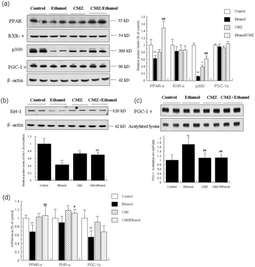 CMZ prevented the decrease of protein levels of PPAR-α, p300 and Sirt-1, and inhibited the increased acetylation of PGC-1α induced by ethanol.Total protein samples were prepared using RIPA buffer, and protein levels of PPAR-α, RXR-α, p300, PGC-1α, and Sirt-1 were detected by western blot. The acetylation of PGC-1α was determined by immunoprecipitation analysis. The mRNA levels of PPAR-α, RXR-α, and PGC-1α were measured using qPCR. (a) Protein levels of PPAR-α, RXR-α, p300, and PGC-1α; (b) Protein levels of Sirt-1; (c) Acetylation of PGC-1α; (d) mRNA levels of PPAR-α, RXR-α, and PGC-1α. Data were presented as mean ± SD from at least 3 independent experiments, and expressed as the percentage of the control. *P<0.05, **P<0.01, compared with control group; #P<0.05, ##P<0.01, compared with ethanol group.