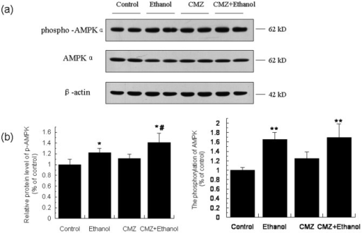 The phosphorylation of AMPK was increased in the liver of CMZ/ethanol group mice.(a) Representative western blot bands for phosphor-AMPK and AMPK; (b) Quantitative data analyses. Data were presented as mean ± SD from at least 3 independent experiments, and expressed as the percentage of the control. *P<0.05, **P<0.01, compared with control group; #P<0.05, compared with ethanol group.