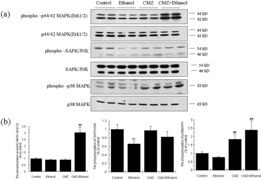 CMZ co-treatment enhanced the phosphorylation of Erk1/2 and p38MAPK.(a) Representative western blot bands for phospho-Erk1/2, Erk1/2, phospho- JNK, JNK, phospho-p38MAPK, and p38MAPK; (b) Quantitative data analyses. Data were presented as mean ± SD from at least 3 independent experiments, and expressed as the percentage of the control. **P<0.01, compared with control group; #P<0.05, ##P<0.01, compared with ethanol group.