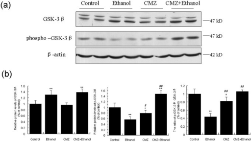 CMZ co-treatment increased protein levels of GSK-3β and phospho-GSK3β in mice liver.Total protein samples were prepared using RIPA buffer, and GSK-3β and phospho-GSK-3β protein levels were detected by western blot. (a) Representative western blot bands; (b) Quantitative data analyses. Data were presented as mean ± SD from at least 3 independent experiments, and expressed as the percentage of the control. *P<0.05, **P<0.01, compared with control group; #P<0.05, ##P<0.01, compared with ethanol group.