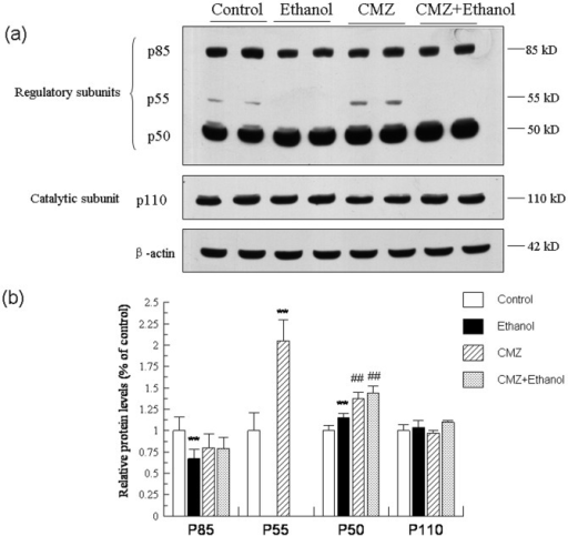 CMZ co-treatment significantly increased the protein levels of p50, the regulatory subunit of PI3K.Total protein samples were prepared by using RIPA buffer, and protein levels of the regulatory subunits of PI3K (p85, p55, p50) and the catalytic subunit (p110) were detected by western blot. (a) Representative western blot bands; (b) Quantitative data analyses. Data were presented as mean ± SD from at least 3 independent experiments, and expressed as the percentage of the control. **P<0.01, compared with control group; ##P<0.01, compared with ethanol group.