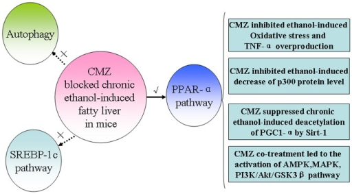 A possible scheme for the protective effects of CMZ against chronic ethanol-induced fatty liver.Ethanol-induced CYP2E1 activation can lead to the suppression of PPAR-α, which may be related with the decline of the p300 protein level, the increase of PGC-1α acetylation, and the disturbance of several protein kinases including AMPK, MAPK, and GSK3β. CYP2E1 activation can also result in oxidative stress, which will lead to the overproduction of TNF-α by activating kupffer cells. In contrast, the protective effects of CMZ against AFL might not be associated with the SREBP-1 mediated lipogenesis and autophagy pathway, which are needed to be confirmed in future studies.