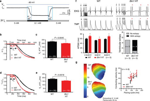 Bin1 deletion increases extracellular K+ diffusion, prolonging action potential duration and increasing ventricular ectopy. (a) Representative patch clamp recording of IK1 current changes when quickly switching extracellular potassium concentration in a wildtype (WT) cardiomyocyte. (b) Kinetics of IK1 during K+on in WT and Bin1 HT cardiomyocytes (dotted line, dead volume time of 124 ms). (c) Comparison of the initial delay X0 of K+on for WT (n = 20) and Bin1 HT (n = 19) cardiomyocytes (P = 0.0045). (d) Kinetics of IK1 during K+off (1−∆IK1) in WT and Bin1 HT cardiomyocytes. (e) Comparison of X0 of K+off for WT (n = 20) and Bin1 HT (n = 19) cardiomyocytes (P = 0.0018). (f) Top: representative tracings of EKG (top) and TMP (transmembrane potential, bottom) from isolated and langendorff perfused WT (left) and Bin1 HT (right) hearts. Bottom: Action potential duration (APD80) is always prolonged in Bin1 HT hearts whether subjected to low (2.5 mM), normal (5 mM), and high (8 mM) potassium solution (left), and ventricular ectopy is increased in Bin1 HT hearts (right, incidence of arrhythmias during physiological buffer perfusion). (g) Ventricular activation map (left) and conduction velocity (right) of WT and Bin1 HT hearts subjected to high potassium (8 mM) perfusion (*, P < 0.05). Data are presented as mean ± SEM and cardiomyocytes are from three mice for each genotype, student's t-test was used for statistical analysis.