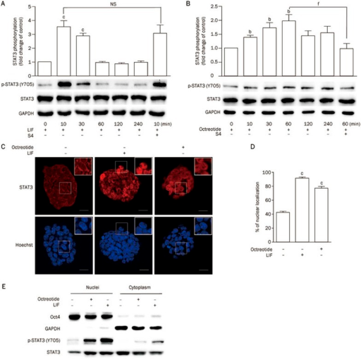 Activation of SSTR2 induces phosphorylation of STAT3. (A, B) Representative Western blot and statistical analyses of STAT3 phosphorylation in E14 cells stimulated with LIF (1000 U/mL) (A) or octreotide (1 μmol/L) (B) for various durations. The effect of S4 (1 μmol/L) on LIF- or octreotide-induced phosphorylation was also tested. The data are the mean±SEM (n=3). bP<0.05, cP<0.01 vs control. fP<0.01 vs cells treated with LIF or octreotide. (C) Representative confocal images of immunofluorescent staining of STAT3 in E14 cells stimulated with LIF (1000 U/mL, 10 min) or octreotide (1 μmol/L, 1 h) (Scale bar: 10 μm). (D) Statistical analysis of the percent nuclear localization of STAT3 presented in (C). The data are the mean±SEM (n=10 cells). cP<0.01 vs LIF(−) control. (E) Western blot analysis of STAT3 phosphorylation in the nuclei and cytoplasm of mESCs stimulated with LIF (1000 U/mL, 10 min) or octreotide (1 μmol/L, 1 h). Oct4 was used as a nuclear marker, and GAPDH was used as a cytoplasmic marker.