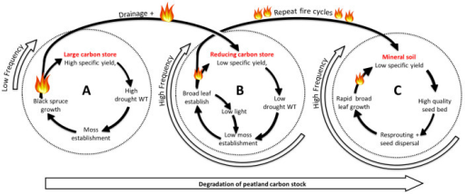 Conceptual diagram showing the degradation of the peatland carbon stock.Far left cycle (A) represents the low frequency peatland fire cycle. The compound disturbance of fire and drainage breaks this cycle, transferring the peatland to the central fire cycle (B). This represents a spiral of decline in peatland carbon stocks. After repeated high frequency fire cycles, peatland stocks are lost to the atmosphere and the landscape is transferred to a stable mineral soil fire cycle (C).