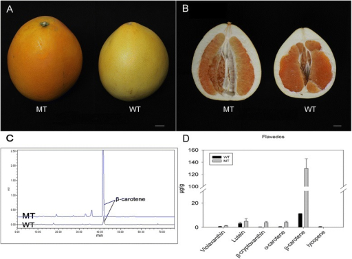 The phenotype and carotenoid content in the WT and MT. (A, B) Appearances of MT and WT fruits at maturation. (C, D) Carotenoid profiles and concentrations in the pericarps of WT and MT at fruit maturation. The bar represents 2 cm.