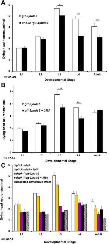 Treatments that block autophagy (and dramatically reduce neurodegeneration in other forms of necrotic neurodegeneration in C. elegans) have a reproducible but small effect in nematode excitotoxicity. A) A mutation in unc-51 shows a moderate effect on nematode excitotoxicity. *p < 0.05 ; ***p < 0.01 B) Treatment with the autophagy-blocking drug 3MA has a moderate effect on nematode excitotoxicity. ***p < 0.01 C) Independent repetition of the experiment shown in B with the addition of epistasis analysis. The data shows that the only reproducible effect of autophagy blockade is in L3. Although at this stage the combined effect of autophagy blockade and dapk-1 correlates with a model of independent action of these two factors, the moderate extent of effects limits the strength of such a conclusion.