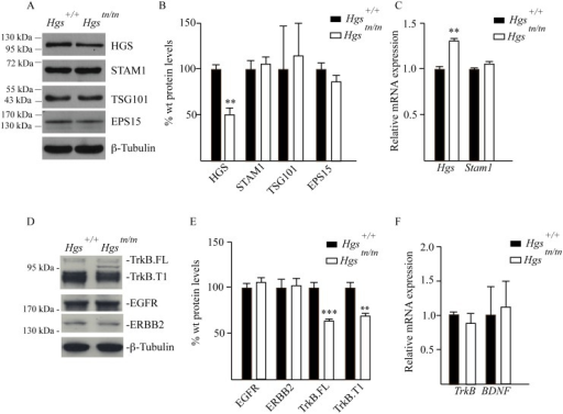 Analysis of ESCRT and RTK expression in the sciatic nerves of 4-week-old Hgs+/+ and Hgstn/tn mice.(A) Representative immunoblot of ESCRT expression in sciatic nerve extracts. β-tubulin was used as a loading control. (B) Quantitation of immunoblots of ESCRT expression in sciatic nerve extracts. (C) qPCR analysis of ESCRT-0 components in the sciatic nerve. (D) Representative immunoblot of TrkB.FL and TrkB.T1, EGFR and ERBB2 in sciatic nerves. β-tubulin was used as a loading control. (E) Quantitation of receptor tyrosine kinases in the sciatic nerve. (F) qPCR analysis of TrkB and BDNF in the sciatic nerve. Symbols represent unpaired t-tests corrected for multiple comparisons using the Holm-Sidak method. Data are shown as mean ± SE. n > 3 mice per genotype. **p<0.01 and ***p<0.001.