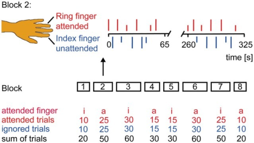 Experimental Design. Subjects were instructed to classify the stimulus intensity if the attended finger was stimulated and to ignore the other finger. Subjects' report via button press was prompted by an acoustic signal 3 s after each laser stimulus. The experiment had a counterbalanced block design. Laser stimuli were delivered in eight blocks of different duration to the left index (i) and ring (a) finger. Block 2 is illustrated in more detail. Occurrence of low (1.5 × pain threshold = short vertical lines) and high (2 × pain threshold = long vertical lines) intensity stimuli was randomized as were the inter-stimulus interval (6–7 s) and the site of attention.