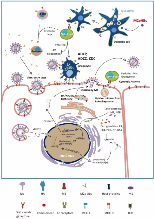 Influenza A virus infection cycle and mode of action of M2e based vaccines. The influenza A virions bind to sialic acid containing receptors on the surface of cells. Following endocytosis, the acidification of the endosome triggers the low-pH activation of M2. Then, the viral membrane fuses with the endosomal membrane by a low pH induced conformational change in HA. The interaction between M1 and vRNPs loosens after H+ influx by activated M2 ion channels, resulting in the release of vRNPs into the cytosol. In the nucleus, cRNA(+), vRNA(−) and mRNA(+) are produced, allowing the influenza A virus genome and proteins synthesis. Most likely M2 mediates the lipid recruitment from autophagosome during virus budding. The influenza A virus components and vRNP are packaged at the membrane, allowing the release of newly produced virions from the apical side of airway epithelial cells and the virus spreads. The critical steps in virus replication cycle and the M2(e) vaccine mechanism of action are highlighted in bold and in red. M2e-derived epitopes are presented in the context of MHC II molecules. M2e-specific CD4+ T cells are activated via T cell receptors recognition of these presented M2e epitopes, and release cytokine and chemokine in order to offer bystander help to antibody producing plasma cells or possibly clear infected cells as Cytotoxic CD4+ T lymphocytes. Phagocytes can recognize M2e-specific IgG immune complexes on the surface of infected cells and subsequently kill and eliminate the infected cell. Recognition of M2 on the surface of infected cells by phagocytic cells depends on Fc receptors and opsonizing anti-M2e IgG antibodies.