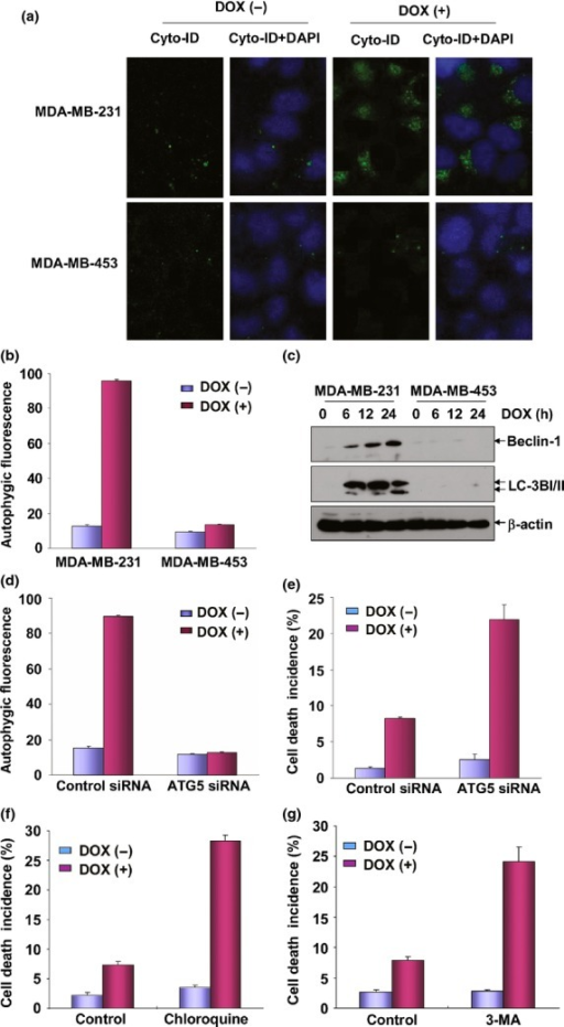 Doxorubicin (DOX)-induced autophagy protected MDA-MB-231 cells from apoptosis. (a) MDA-MB-231 and MDA-MB-453 cells were left untreated or treated with DOX (0.2 μM) for 24 h and then autophagy was detected under confocal microscopy after staining the cells with Cyto-ID Green Autophagy Detection Reagent (ENZO Biotechnology). (b) The cells in (a) were trypsinized, collected and subjected to flow cytometric analysis to obtain the quantitative data indicating the autophagic flux inside the cells. (c) MDA-MB-231 and MDA-MB-453 cells were treated with DOX as described in Figure1(b) and then the expressions of Beclin-1 and LC3BI/II were detected. (d) MDA-MB-231 cells were transfected with ATG5 siRNA or control siRNA and then treated with DOX (0.2 μM) 36 h after transfection. Then the cells were collected and subjected to flow cytometric analysis to test the autophagic flux inside the cells. To avoid the off-target effect, two different siRNA against ATG5 were purchased and tested. Data shown here were obtained from the most effective one. (e) MDA-MB-231 cells were transfected and treated with DOX as described in (d) and then cell death incidence was detected 48 h after DOX treatment. (f) MDA-MB-231 cells were pretreated with chloroquine and then exposed to DOX (0.2 μM). The cell death incidence was detected 48 h after DOX treatment. (g) MDA-MB-231 cells were pretreated with 3-MA and then exposed to DOX (0.2 μM). The cell death incidence was detected 48 h after DOX treatment.
