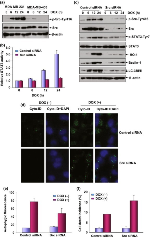 Src was the upstream protein kinase responsible for STAT3 activation under doxorubicin (DOX) treatment. (a) MDA-MB-231 and MDA-MB-453 cells were treated with DOX (0.2 μM) for the indicated time periods and then the induction of Src activation was detected by western-blot assay. (b) MDA-MB-231 cells were co-transfected with STAT3-dependent luciferase reporter plasmid and Src siRNA and then exposed to DOX (0.2 μM) 36 h after transfection. Then the induction of STAT3 luciferase activities was determined at the indicated time periods after DOX treatment. (c) MDA-MB-231 cells were transfected with Src siRNA or control siRNA and then treated with DOX (0.2 μM) 36 h after transfection. Then the activation of STAT3 and the expressions of heme oxygenase-1 (HO-1), Beclin-1 and LC3BI/II were determined 12 h after DOX exposure. To avoid the off-target effect, two different siRNA against Src were purchased and tested. Data shown here were obtained from the most effective one. (d,e) MDA-MB-231 cells were transfected and treated as described in figure (c) and then autophagy was detected as described in Figure3(b,c). (f) MDA-MB-231 cells were transfected and treated as described in figure (c) and then cell death incidence was detected 48 h after DOX treatment.