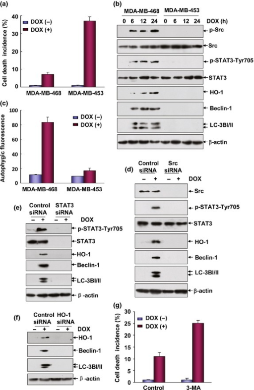 Src/STAT3/heme oxygenase-1 (HO-1)-dependent autophagy protected MDA-MB-468 cells from doxorubicin (DOX)-induced apoptosis. (a) MDA-MB-468 and MDA-MB-453 cells were left untreated or treated with DOX (0.2 μM) for 48 h and then cell death incidence was determined as described in Figure1(a). (b) MDA-MB-468 and MDA-MB-453 cells were treated with DOX (0.2 μM) for the indicated time periods and then the induction of Src and STAT3 activation and HO-1, Beclin-1 and IC3I/II expression were detected by western-blot assay. (c) MDA-MB-468 and MDA-MB-453 cells were left untreated or treated with DOX (0.2 μM) for 24 h and then autophagy was detected as described in Figure2(a). (d–f) MDA-MB-468 cells were transfected with Src, STAT3, HO-1 siRNA or their control siRNA, respectively. Then the cells were treated with DOX (0.2 μM) 36 h after transfection. The activation of Src, STAT3 and the expressions of HO-1, Beclin-1 and LC3BI/II were determined 12 h after DOX exposure. (g) MDA-MB-468 cells were pretreated with 3-MA followed by exposure to DOX (0.2 μM) and then cell death incidence was detected 48 h after DOX treatment.