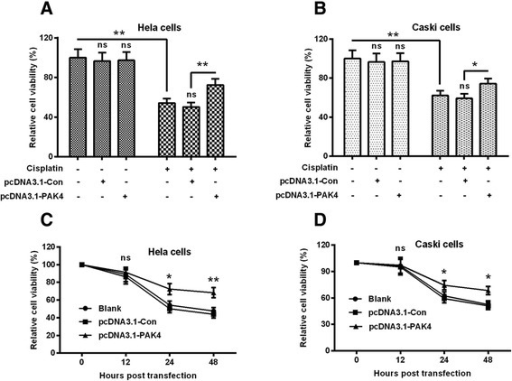 Overexpressed PAK4 ameliorates the cisplatin-induced viability reduction of cervical cancer cells.a and b: The percent viability of Hela (a) and CaSki (b) cells which were transfected with control pcDNA3.1 (pcDNA3.1-Con) or pcDNA3.1-PAK4, with or without the treatment with 5 μM (for Hela cells) or 10 μM (for CaSki cells) cisplatin for 24 h; c and d: Time-dependence of the influence of the transfection with pcDNA3.1-Con or with pcDNA3.1-PAK4 on the viability of Hela (c) and CaSki (d) cells, in the presence of 5 μM (for Hela cells) or 10 μM (for CaSki cells) cisplatin. All results were averaged for triple independent experiments. *P < 0.05, **P < 0.01 or ns: no significance