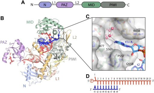 Structure of the t1 nucleotide binding pocketa linea open i structure of the t1 nucleotide binding pocketa linear schematic of the argonaute2 ccuart Images