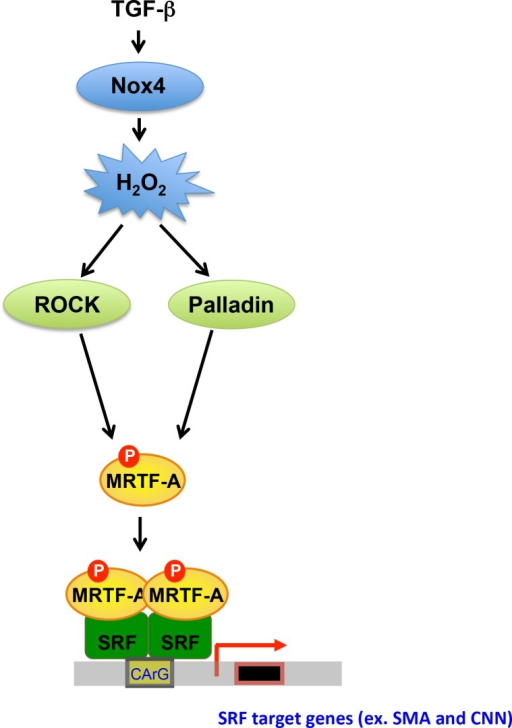 Proposed Model of Redox-Sensitive Regulation of MRTF-A Phosphorylation via Palladin in Human VSMCs.Stimulation of Human VSMCs with TGF-β (2 ng/ml) upregulates Nox4, increasing H2O2 production. H2O2 increases expression of palladin and stimulates the activity of ROCK, which phosphorylates MRTF-A. MRTF-A binds to SRF which induces SMA and CNN expression.